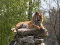 Ale vrchol dne byl nádherný tygr.